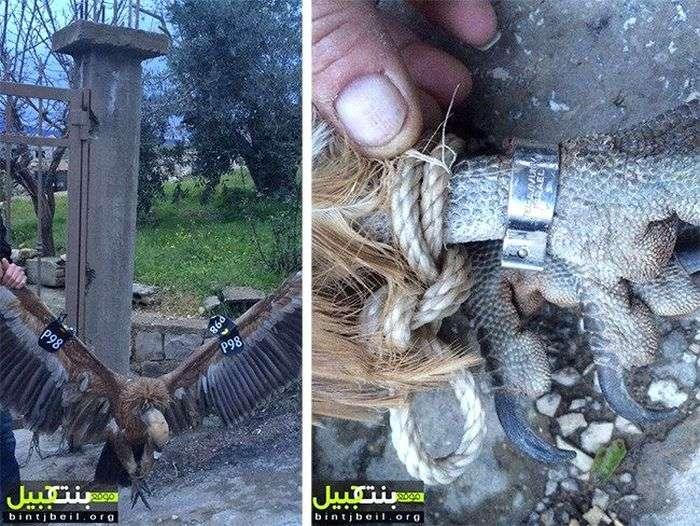 В Ливане грифа с GPS-передатчиком заподозрили в шпионаже (3 фото)