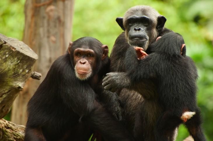Сенсация: шимпанзе в Африке придумали какого то бога и ему молятся