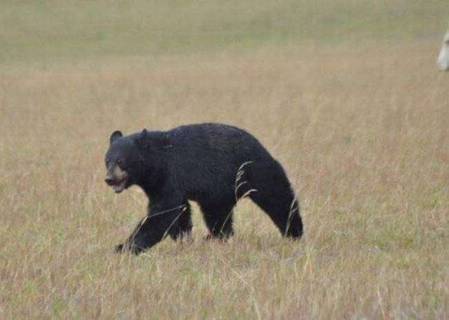 Коровы замочили медведя (13 фото)