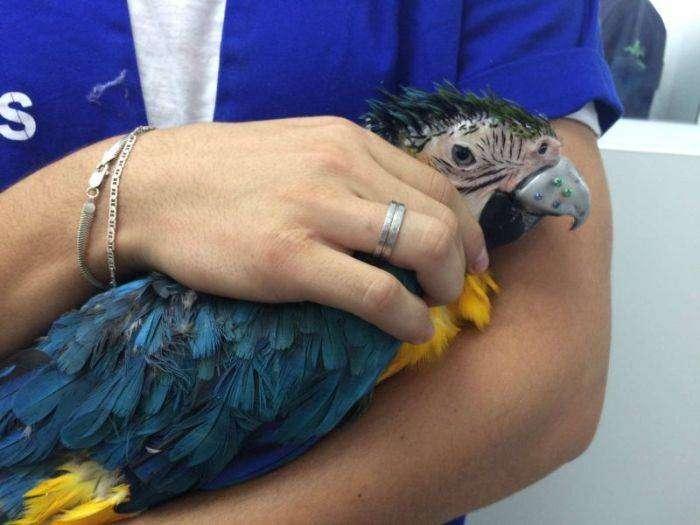 Бразильские ветеринары приделали новый клюв попугаю (14 фото)