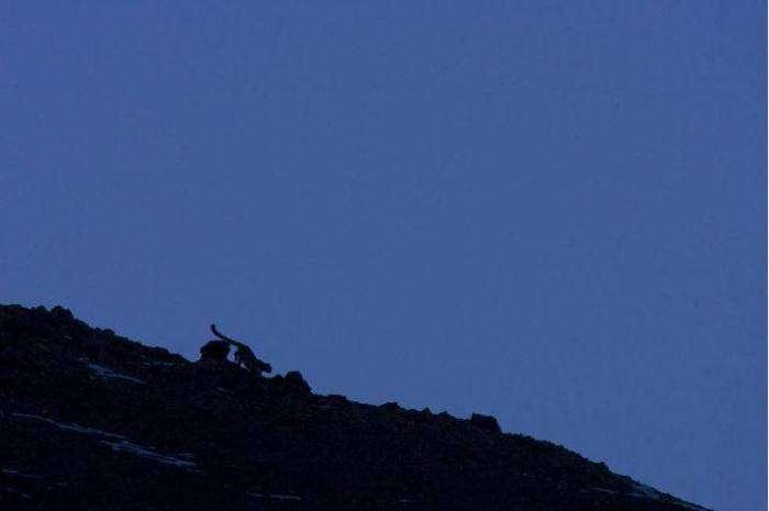 Снежный леопард (13 фото)