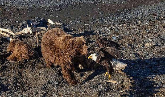 Медведица убила белоголового орлана, позарившегося на ее добычу (6 фото)