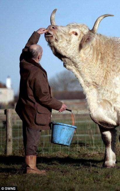 Самый большой бык (2 фото)