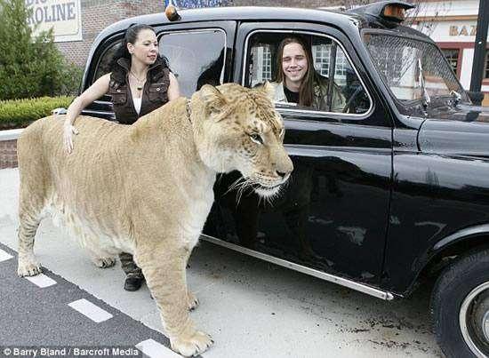 Геркулес - самая большая кошка (6 фото)