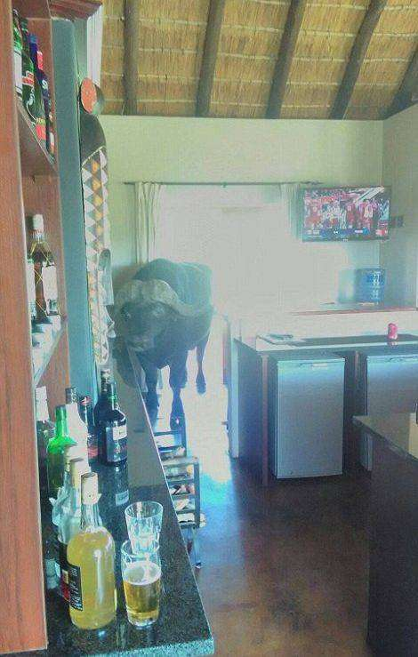 Буйвол заглянул в отель (5 фото)