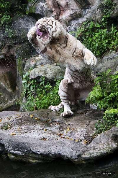 Белые тигры (20 фото)
