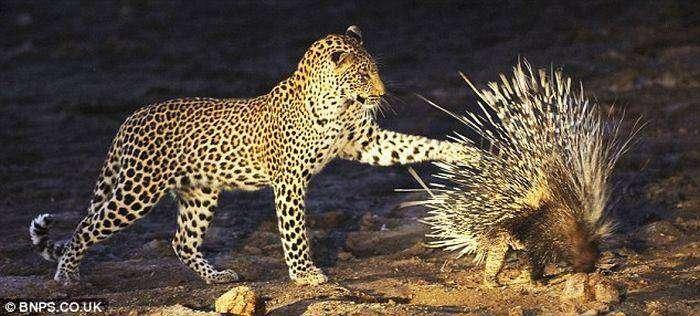 Леопард и дикообраз (4 фото)