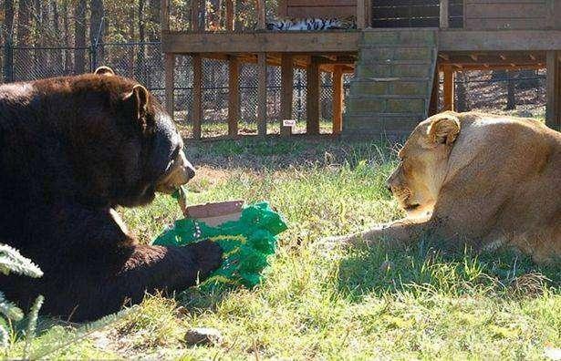 Тигр, лев и медведь - неразлучное трио из дома наркобарона (3 фото)