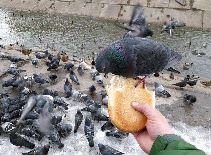 Наглые голуби (4 фото)