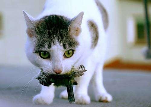 Кошки на охоте (18 фото)