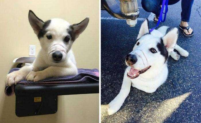 История спасения щенка хаски (6 фото)