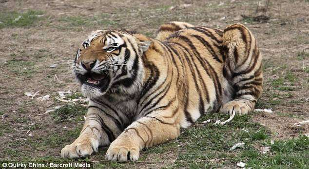 Тигр атаковал артистов (4 фото)