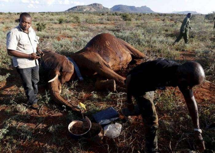 Отлов слонов в Кении (8 фото)