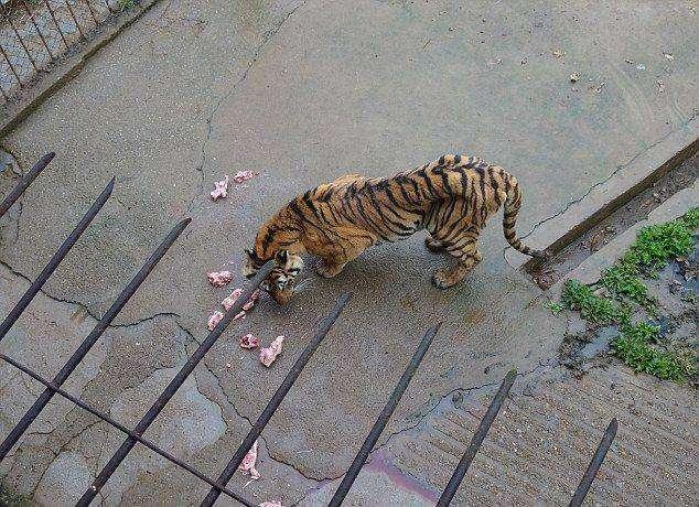 Китайцы варят тигров ради вина, повышающего потенцию (14 фото)