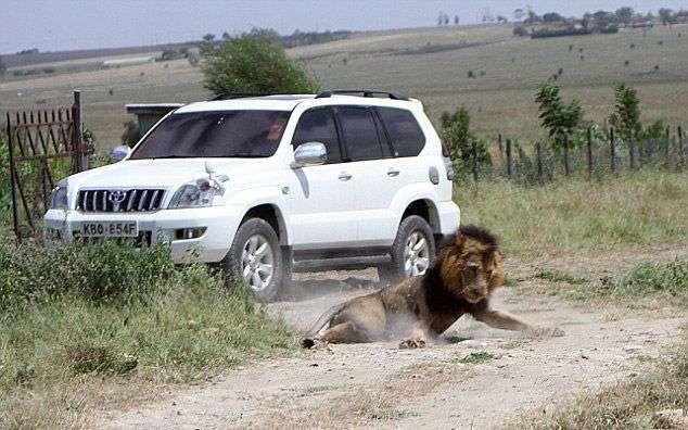 Рейнджеры пристрелили одного из самых излюбленных львов Кении (4 фото)