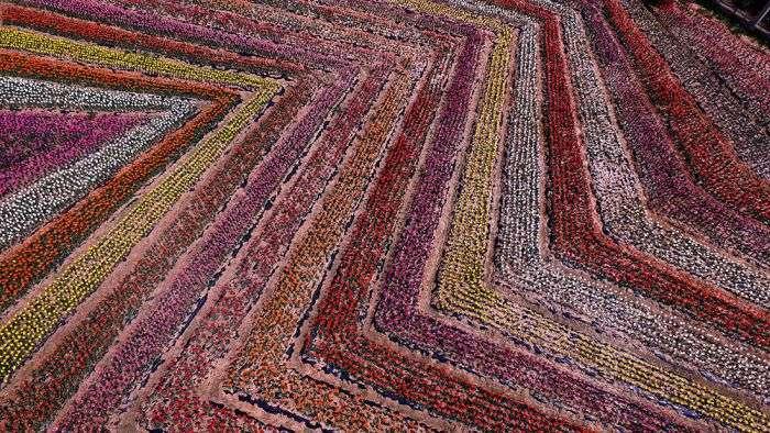 В Китае расцвели тюльпаны (16 фото)