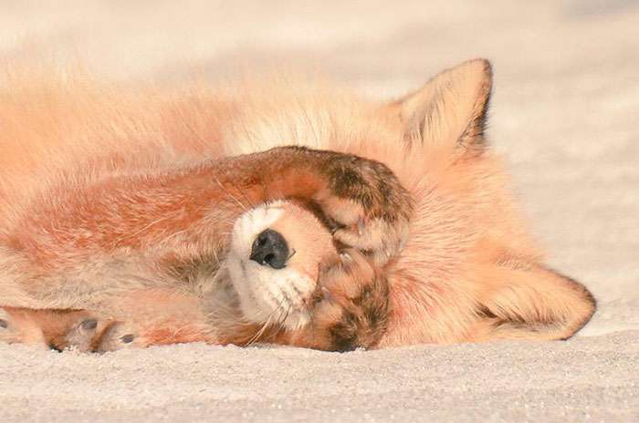 7 самых милых животных с острова Хоккайдо (24 фото)