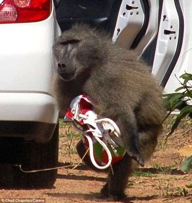 Бабуин - ворюга (4 фото)