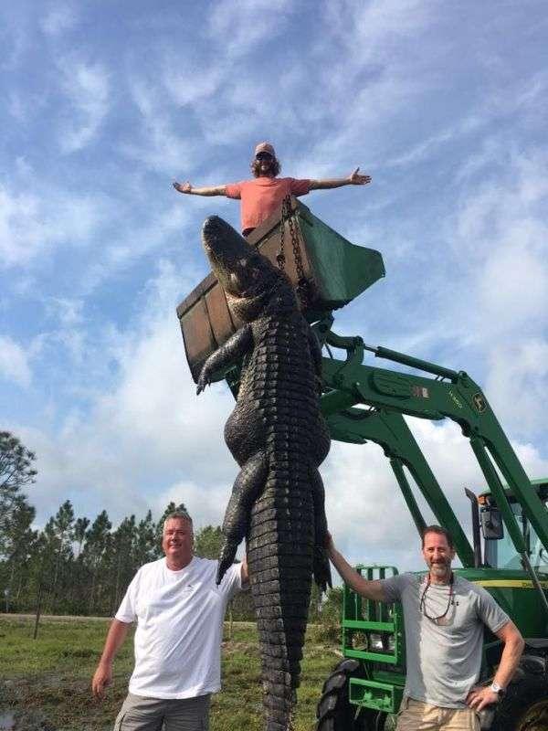 Охотники из Флориды поймали гигантского аллигатора (3 фото)