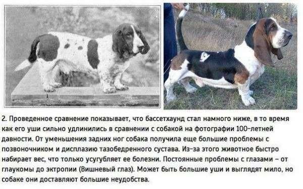 100 лет селекции собак (8 фото)