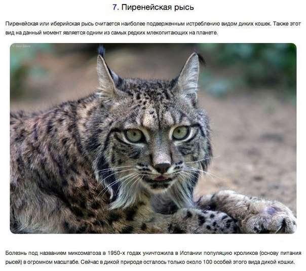 10 исчезающих диких кошек (10 фото)