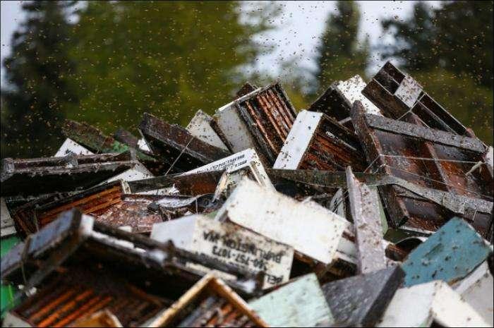 Под Сиэтлом перевернулся грузовик с пчелами (11 фото)