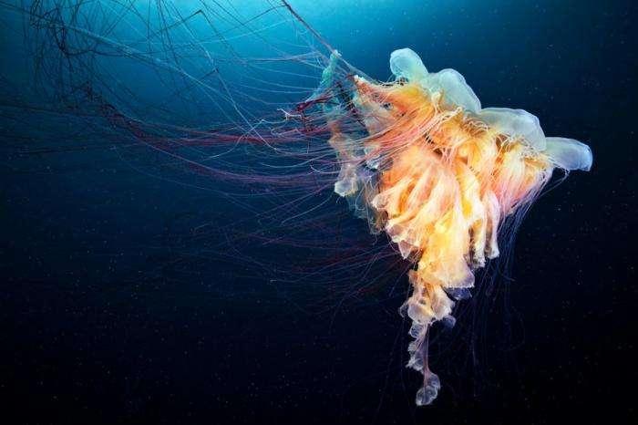 Несколько фактов о медузах (4 фото)
