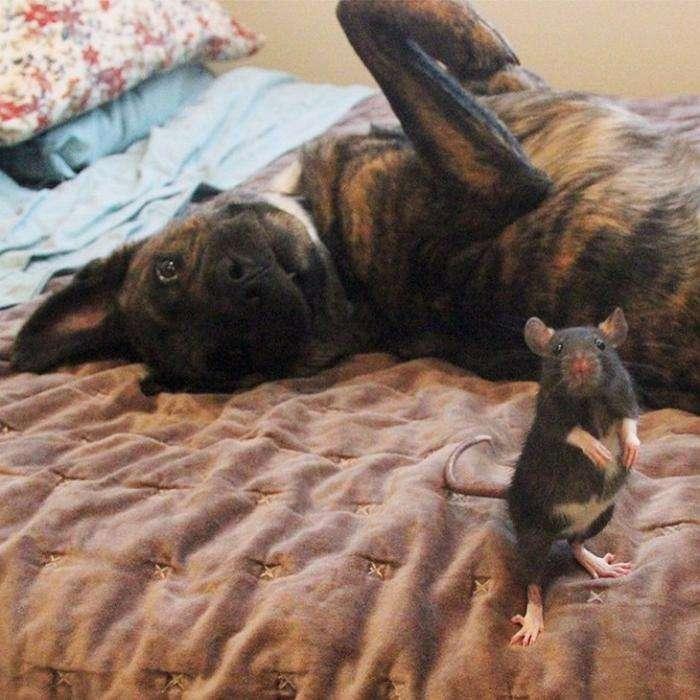 Необычные друзья собака и крыса (13 фото)