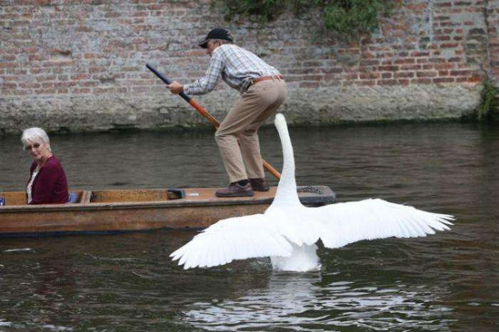 Лебедь-террорист (15 фото)