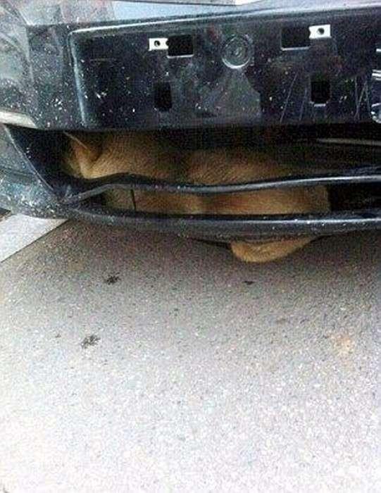 Сбитый пес проехал в бампере авто 400 км (5 фото)