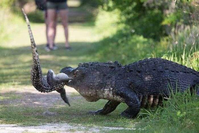 Обычное явление в мире крокодилов (4 фото)