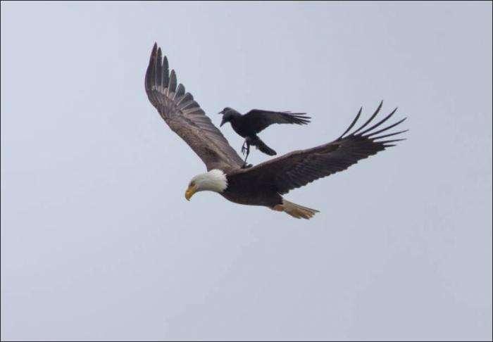 Ворона верхом на белоголовом орлане (4 фото)