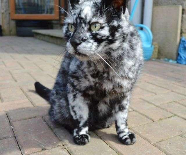 Кот окраса сигаретного пепла (9 фото)