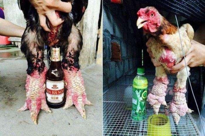 Драконьи лапки курицы - недешевый деликатес (14 фото)