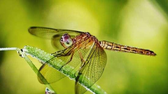 Стрекозы — самые совершенные хищники в мире