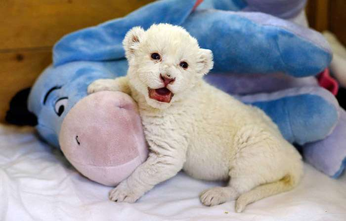 Белый львёнок