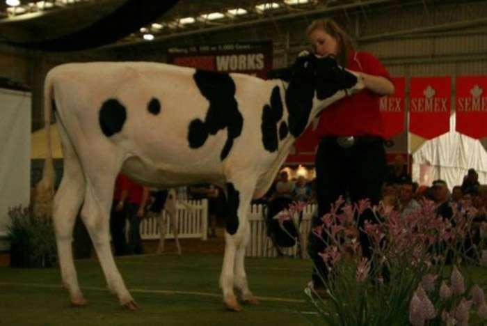 Корова Мисси