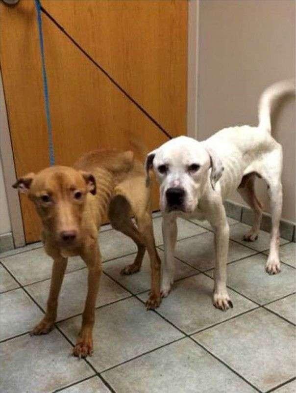 Полицейские спасли из заброшенного дома двух собак, похожих на ходячие скелеты