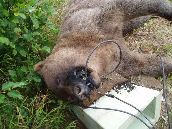 Мишаня попробовал на зуб высоковольтный кабель
