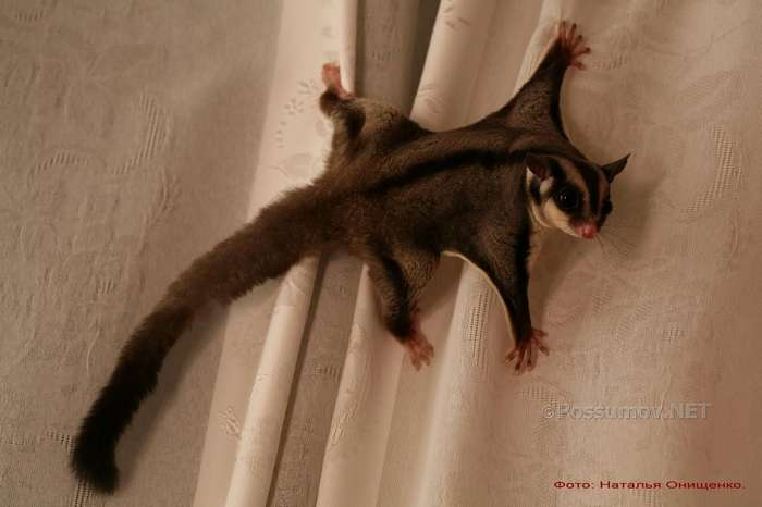 Чем в домашних условиях кормить белку летягу в домашних условиях