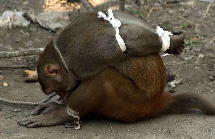 Наказание обезьян-преступниц в Индии