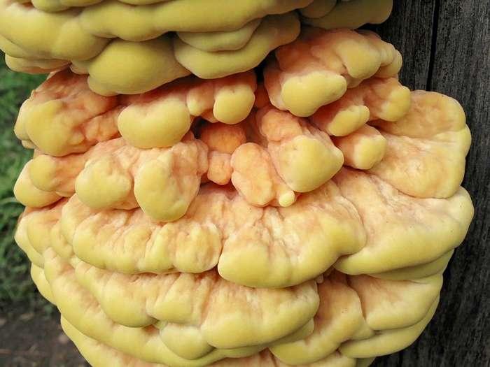 Куриный гриб