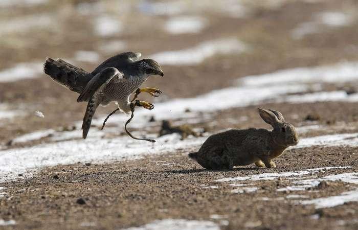 Охота с беркутом