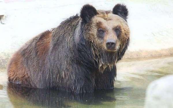 Спасение медведя Цезаря из китайской фермы по производству желчи