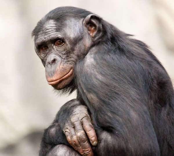 Ученые: Обезьяны осознают точку зрения человека