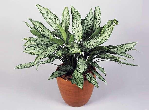 Ядовитые комнатные растения: цветы, которые могут быть вредны для людей