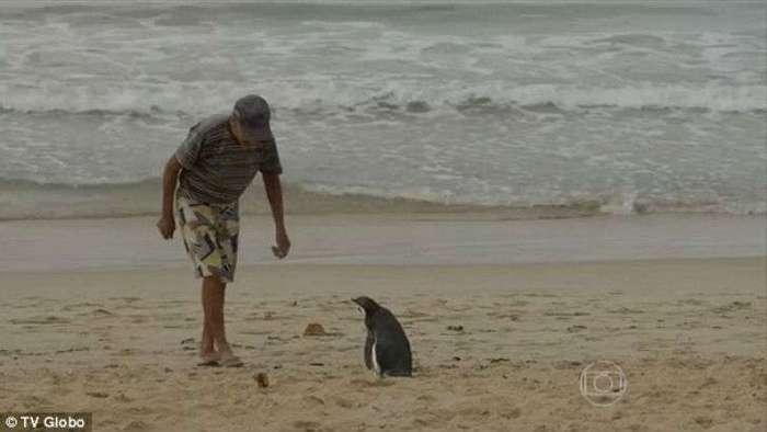 Пингвин каждый год проплывает более 8 тысяч километров, чтобы встретиться со своим спасителем