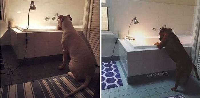 Две собаки заботятся об утятах как о членах семьи
