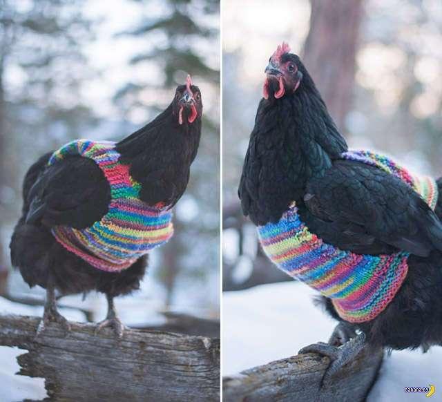 Безумным бабушкам на заметку –свитера для кур!