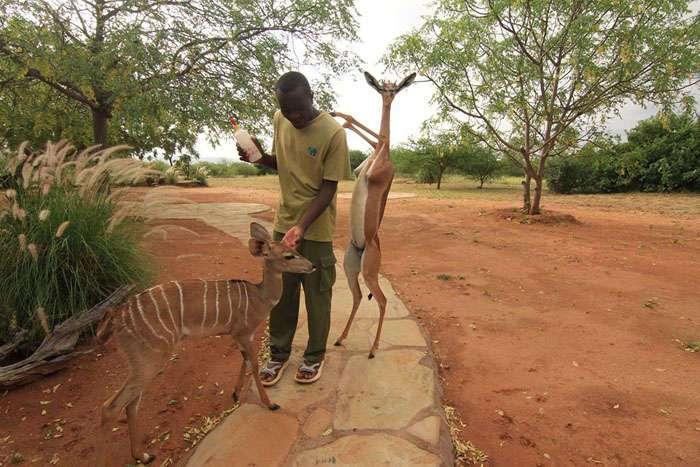 Геренук – животное, которое может прожить все лето без воды